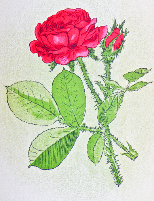 "Stephen Tennant illustration, ""To a Red Rose"" by Siegried Sassoon"