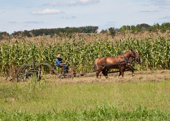 Amish harvest, photo by Dennis Aubrey